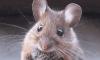 Гора: тяжёлые роды мыши